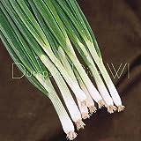 Portal Cool Heirloom spagnolo spagnolo Biologico Cipolla d'Evergreen che coltiva scalogno bianco 50+