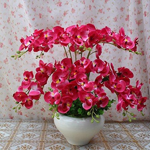 Schmetterlingsorchidee ca 12