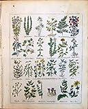 Stampa Antica della Nespola Cul della Malva del Motherwort del Moonwort delle Erbe dell'Acero di Maidenhair…