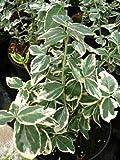immergrüne Kriechspindel Euonymus fortunei Gaiety 15 cm hoch im Topf 1 VE = 20 Stck.