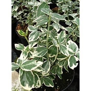 immergr ner spindelstrauch euonymus japonica aurea 60 80. Black Bedroom Furniture Sets. Home Design Ideas