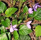 Staudenkulturen Wauschkuhn Viola odorata