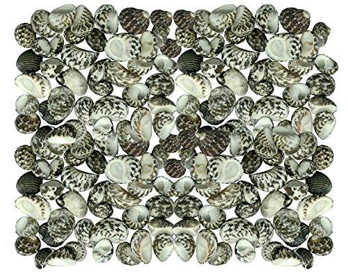 behör - ca. 15-20 St. Muscheln - Winkte nerite (Big)/Nerita undata - Für Seemuschel Boxen, Muschel Rahmen, Spiegel & Seemuschel Schmuck Herstellung (Muschel-box)