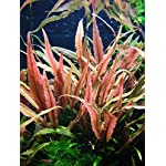Tropica - Cryptocoryne undulatus 'Red' 1-2 Grow ! - Live aquarium plant 3