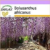 SAFLAX - Afrikanischer Blauregen - 15 Samen - Bolusanthus africanus