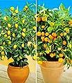 BALDUR-Garten Zitronen- & Orangenbaum,2 Pflanzen Citrus Calamondin Citrus limon von Baldur-Garten auf Du und dein Garten