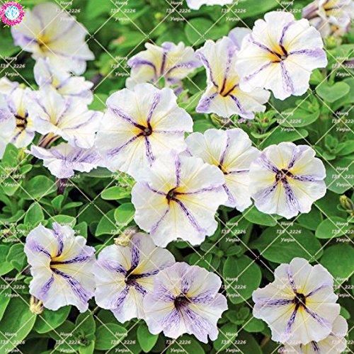 100pcs rares Couleur Petunia Graines Bonsaï Graines de fleurs vivaces Court Taille Jardin Fleurs Graines d'intérieur ou Ourdoor Pot 3 Plante