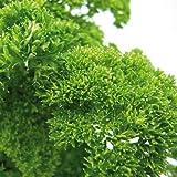 Bio Petersilie kraus Kräuterpflanze