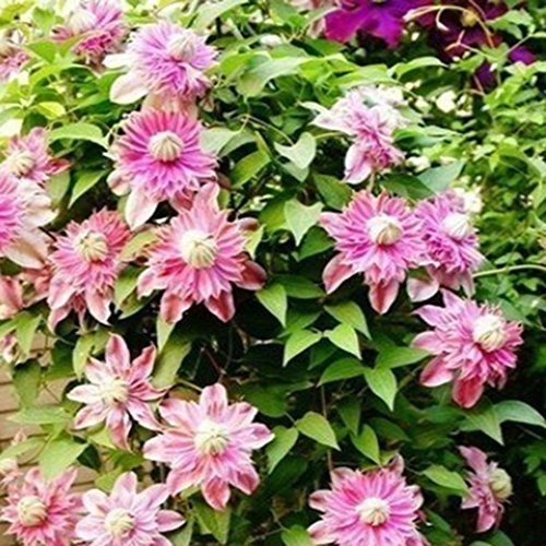 Yukio Samenhaus - 30 Stück Clematis Waldrebe Kletterpflanzen Immergrün winterhart Blumen Saatgut,...