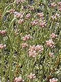 Antennaria dioica - Katzenpfötchen, 6 Pflanzen