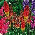 Fackellilie - 1 pflanze von Meingartenshop bei Du und dein Garten