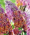 BALDUR-Garten Buddleia Sommerflieder 'Flower-Power®', 1 Pflanze, Buddleja Hybride von Baldur-Garten bei Du und dein Garten