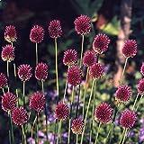 """30x Allium """"Sphaerocephalon"""" Mehrjähriger Zierlauch mit Lila (Purpurfarben) Blüten"""