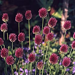 """120x Allium """"Sphaerocephalon"""" Mehrjähriger Zierlauch Mit Lila (Purpurfarben) Blüten"""
