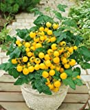 Premier Seeds Direct Tomato Window Box Yellow includes 100 Seeds