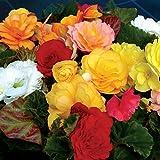 Begonia Destiny 12 Mega Plants – Mixed Colours (12-)