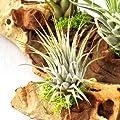 Tillandsien auf Mopaniwurzel - XXL - 5 Pflanzen von exotenherz bei Du und dein Garten