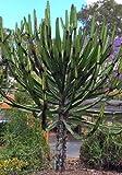TROPICA - Kakteen Afrikanische Baum-Euphorbia ( Euphorbia cooperi ) - 10 Samen