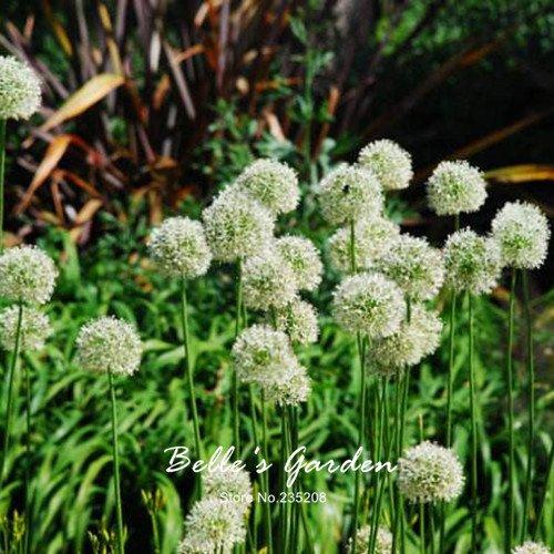 20pcs géant oignon Graines blanc Allium Giganteum Graines de fleurs vivaces fleurs Bonsai plante bricolage jardin