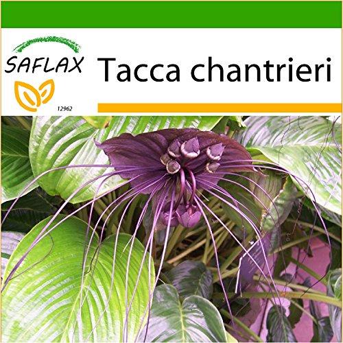 SAFLAX - Fledermausblume - 10 Samen - Mit Substrat - Tacca chantrieri