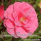 Kamelie 'General George Patton' - Camellia japonica, Grupo de precio:6
