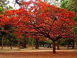 #7: Flowering Tree - Royal Poinciana Gulmohar Delonix Regia Flame - 10 Seeds by Creative Farmer