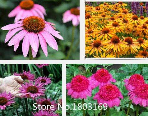 Echinacea-mix (2016 100 100% authentisch Echinacea Samen Blumensamen seltene Pflanzen, Bio Bonsai Samen Mix Farben)
