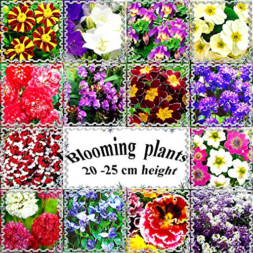 Go Garden Lobularia Maritime Var. & # 034; Big J: vivaces et annuelles, la floraison des plantes de 20 Ã 25 cm ou 9\