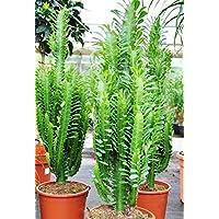 Suchergebnis auf f r euphorbia garten - Wolfsmilch zimmerpflanze ...