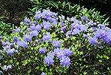 1 PIANTA DI RODODENDRO BLUE TIT IN VASO 17CM Rhododendron immagine