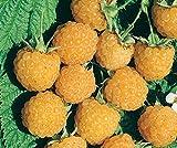 Blumen Senf Himbeere 'Fallgold' - Rubus idaeus Fallgold
