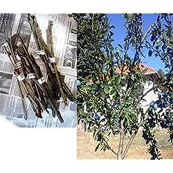Portal Cool 18X Seeds: 4 Scions Samen Prune Pflaumenbaum Damson Stecklinge Bud Verpflanzen Domestica insititia