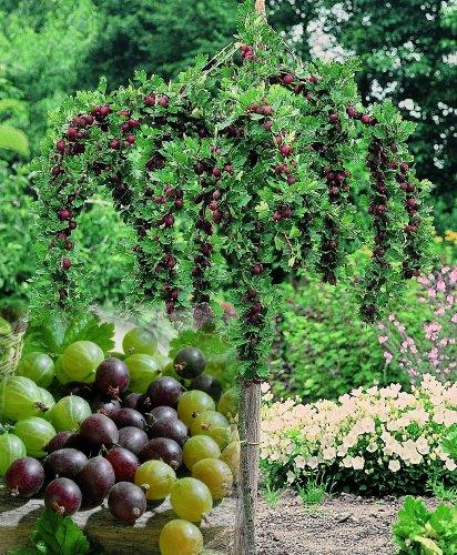 Stachelbeer-Stämmchen Sortiment, bestehend aus je 1 Pflanze der Sorten Hinnonmäcki® rot, Hinnonmäcki® gelb, Invicta® grün