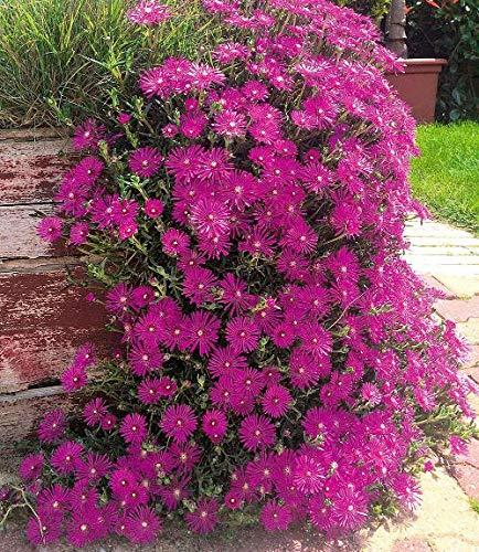 """Keland Garten - Selten Mittagsblume Delosperma""""Cooperi"""" Bodendecker Blumensamen Saatgut mehrjährig, geeignet für Garten"""