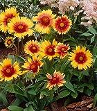 Staude Kokardenblume. 5 Stauden - zu dem Artikel bekommen Sie gratis ein Paar Handschuhe für die Gartenarbeit dazu