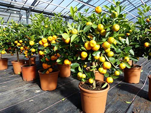Calamondin-Orange Spannende Kreuzung zwischen Kumquat und Mandarine
