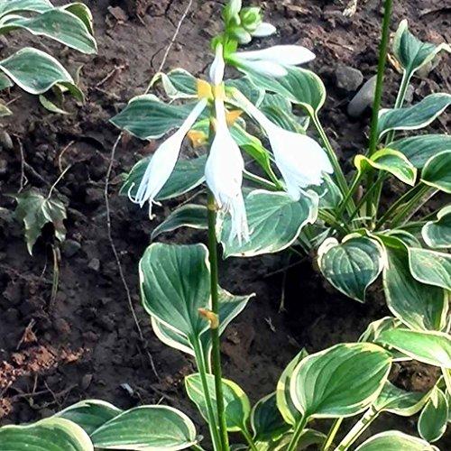 Masterein 100 pcs / Sac Graines Hosta Plantaginea pour la Maison Jardin Beauté Fleur Plantation Graines