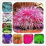 Pinkdose 100 Teile/beutel Bunte Schwingel Gras Bonsai Indoor Garten Festuca Mehrjährige Winterharte Zierpflanzen Einfach Wachsen Bonsai Sementes: gemischt