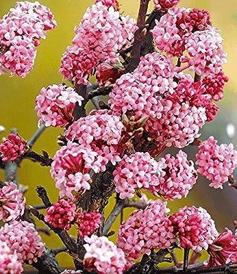 """BALDUR-Garten Duft-Schneeball """"Dawn"""" Viburnum bodnantense Winterschneeball 1 Pflanze von Baldur-Garten - Du und dein Garten"""