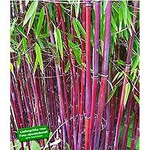 Suchergebnis Auf Amazon De Fur Bambus Winterhart