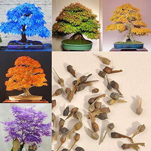 Leaftree Seltene Ahornsamen, 20 Stücke Rote Ahornsamen Bonsai Topfpflanze Gartenpflanze Blumentopf Pflanzgefäße Samen – Schmetterling Ahorn