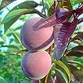 Müllers Grüner Garten Shop Pfirsichbaum Rubira Blutpfirsich Pfirsich rotes Laub sehr dekorativ 120-150 cm 7,5 Liter Topf von Grüner Garten Shop - Du und dein Garten