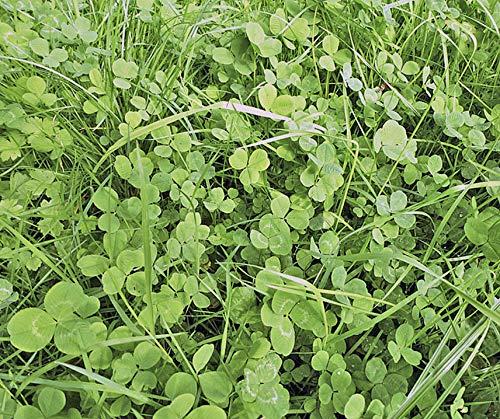 Bobby-Seeds Bodenkursamen Erstgrün Schnellgrüner 500 Gramm - Rotklee-mischung