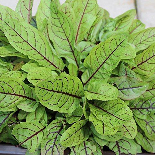 500 Samen rote Sauerampfer - Rumex sanguineus var. sanguineus, auch Blutampfer genannt