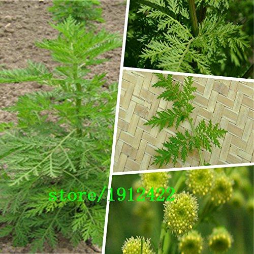 Nuova casa giardino di piante 100 semi Artemisia annua Seeds - Un anno di spedizione Artemisia libero