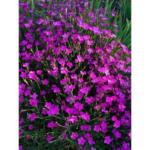 iovivo Staude Heidenelke Dianthus deltoides, 5er-Set