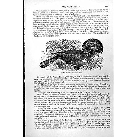 Imprima a Rey Tody Bird Muscivora Regia C1890 353K131