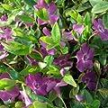 lichtnelke - Immergrün (Vinca minor 'Multiplex') Rosa von Lichtnelke Pflanzenversand bei Du und dein Garten