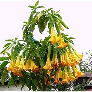 Mandala Árvore sementes 25 pcs Bonsai ANÃO Brugmansia suaveolens Flamenco Trombetas do anjo datura sementes para jardim de casa