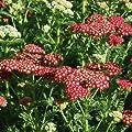 Schafgarbe ( Achillea 'Tutti Frutti POMEGRANATE ') von Lichtnelke Pflanzenversand - Du und dein Garten